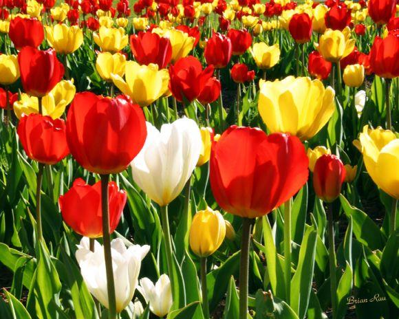 tulip wallpaper. tulip Wallpapers